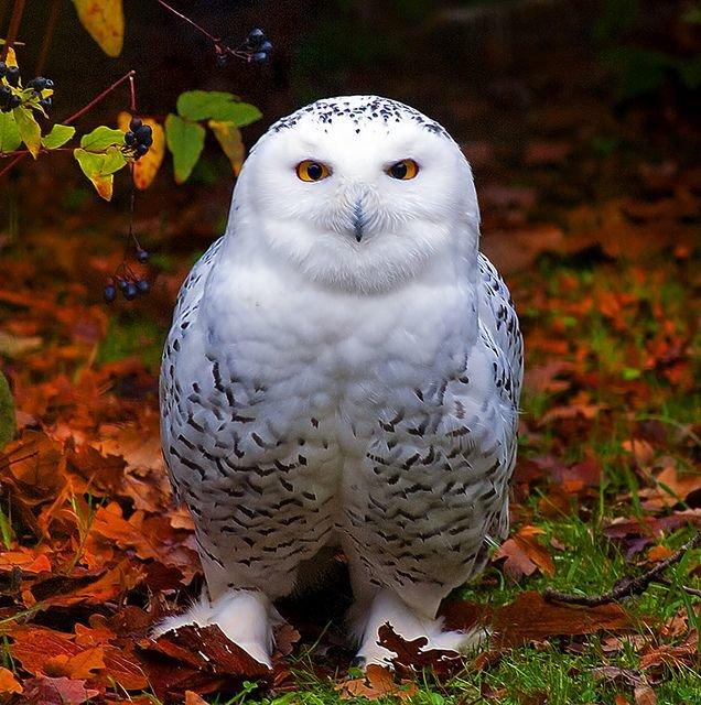 Красивые совята белой совы картинки