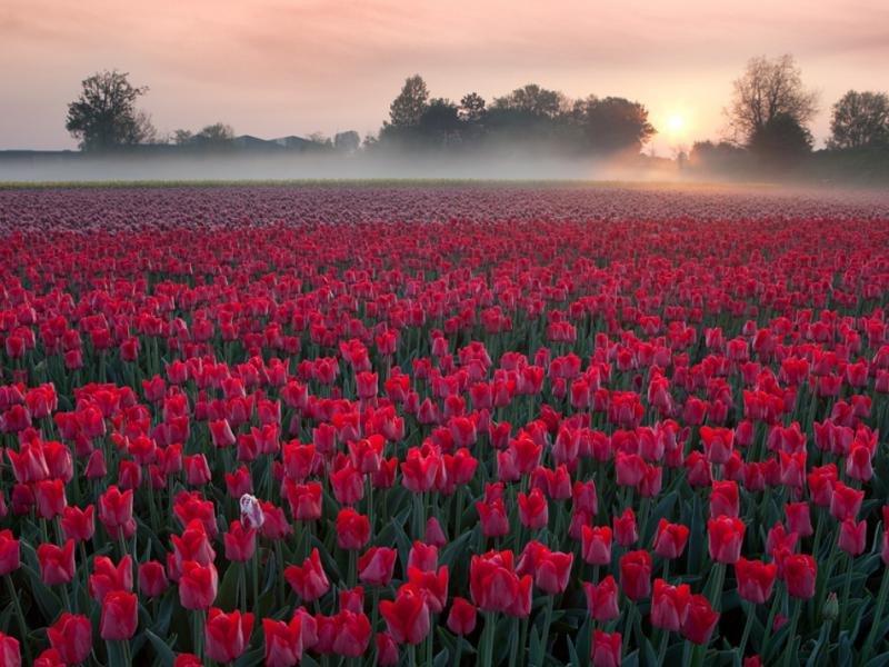 картинка гиф поле тюльпанов именно
