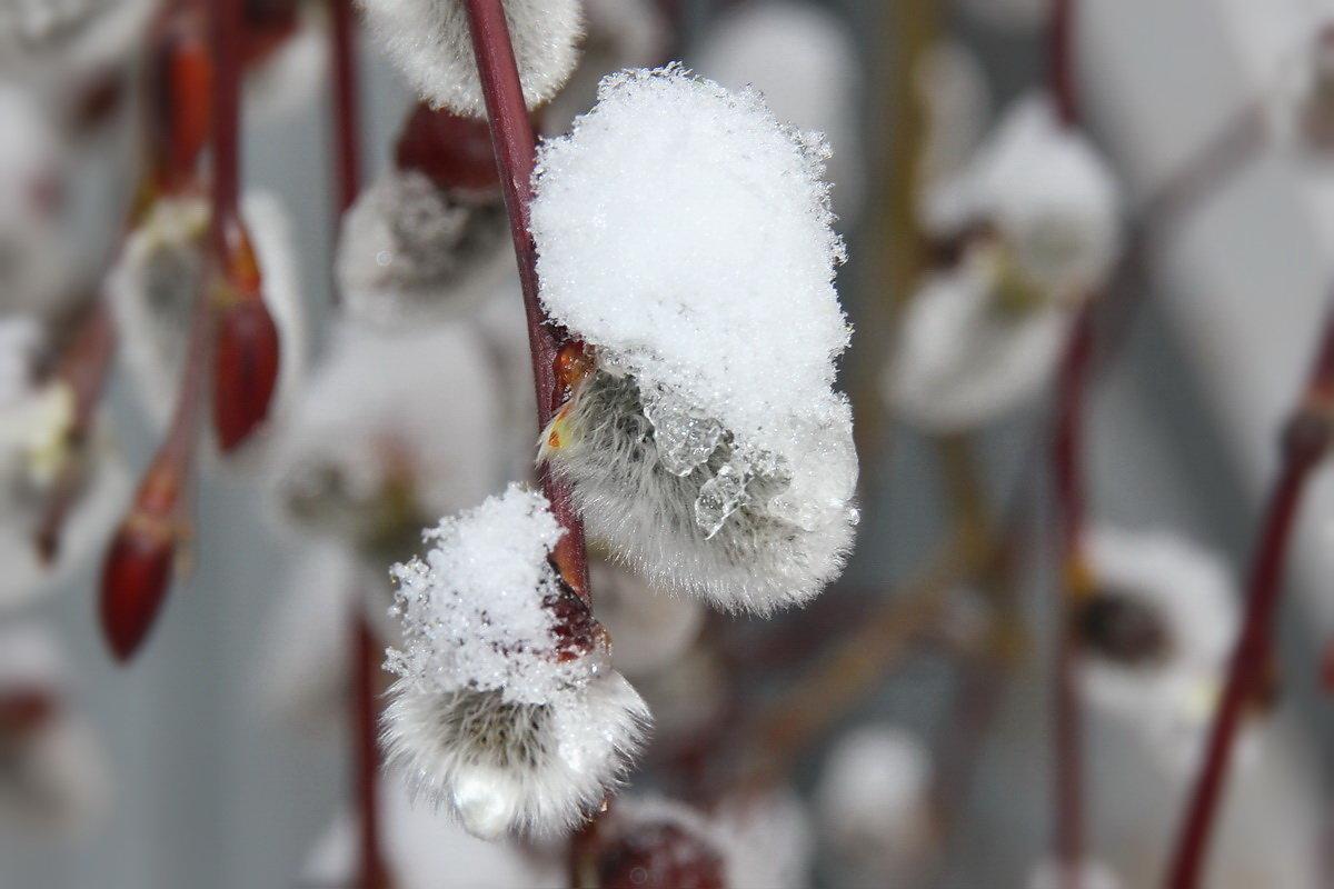 Картинки с вербой и снегом, картинки анимации картинки