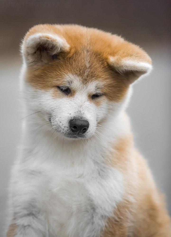 Акита-ину — довольно крупная и мощная собака с благородной внешностью, которую невозможно не узнать.