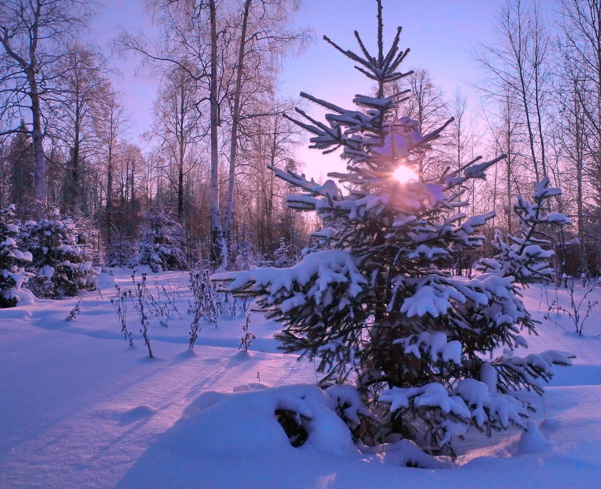 поведал фото елки в зимнем лесу открытки стрит-фото хорошо