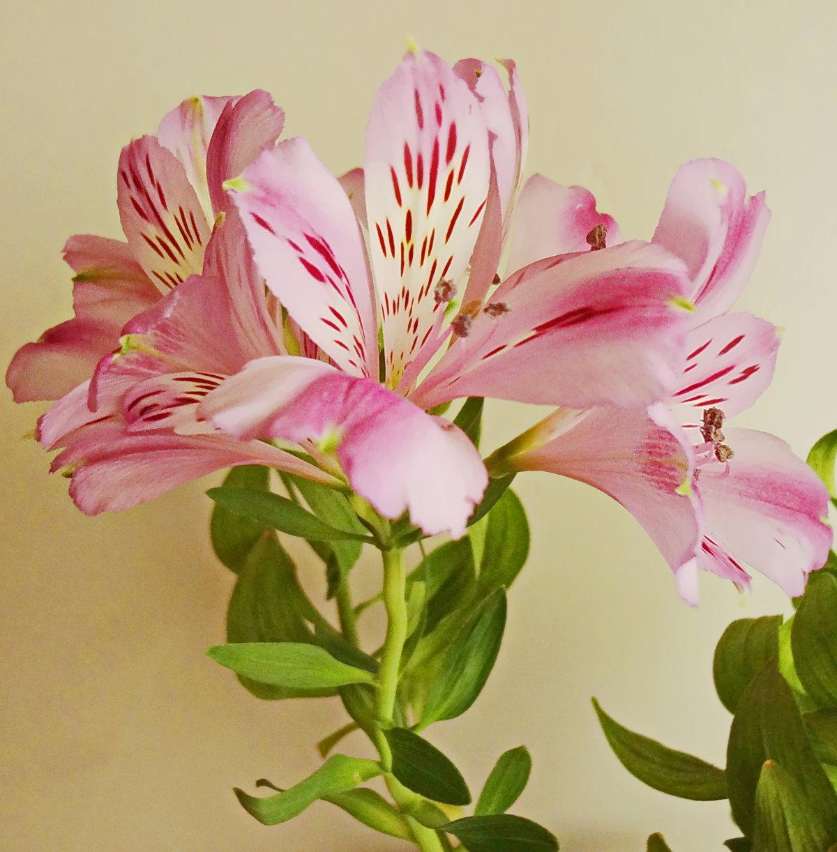 Цветы альстромерии картинки