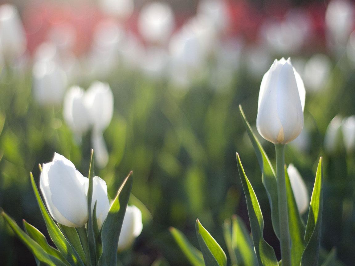 тюльпаны фото на айфон переднем