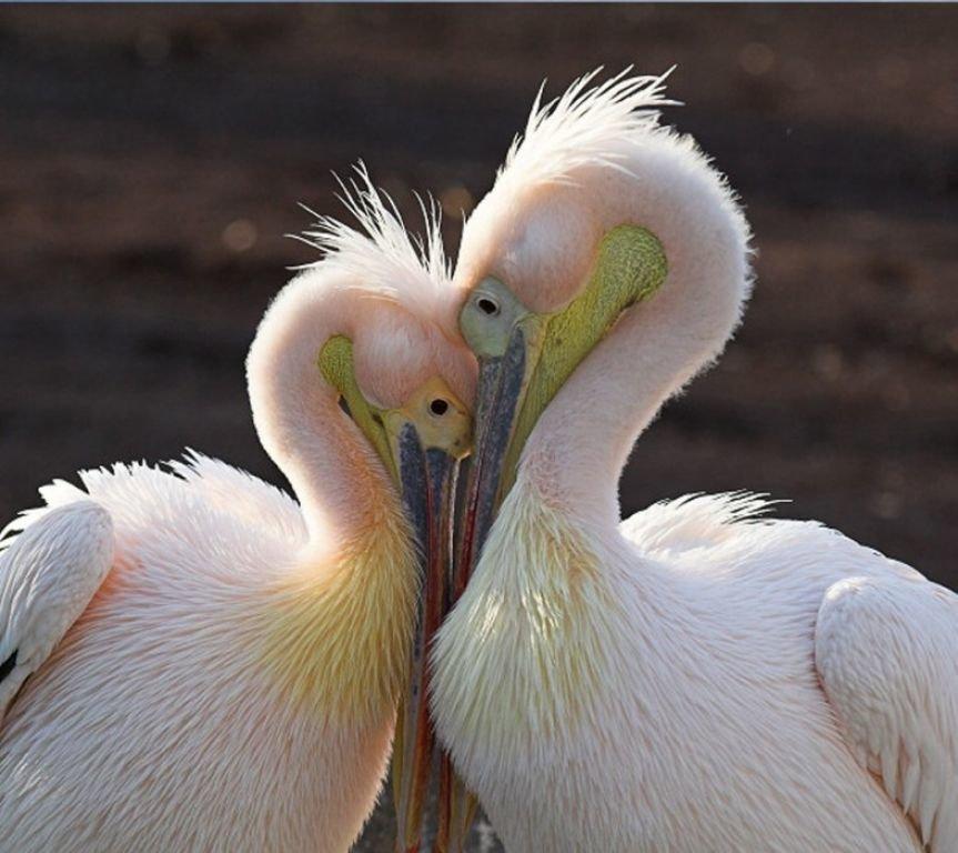 Картинки с пеликаном для любви, открытки
