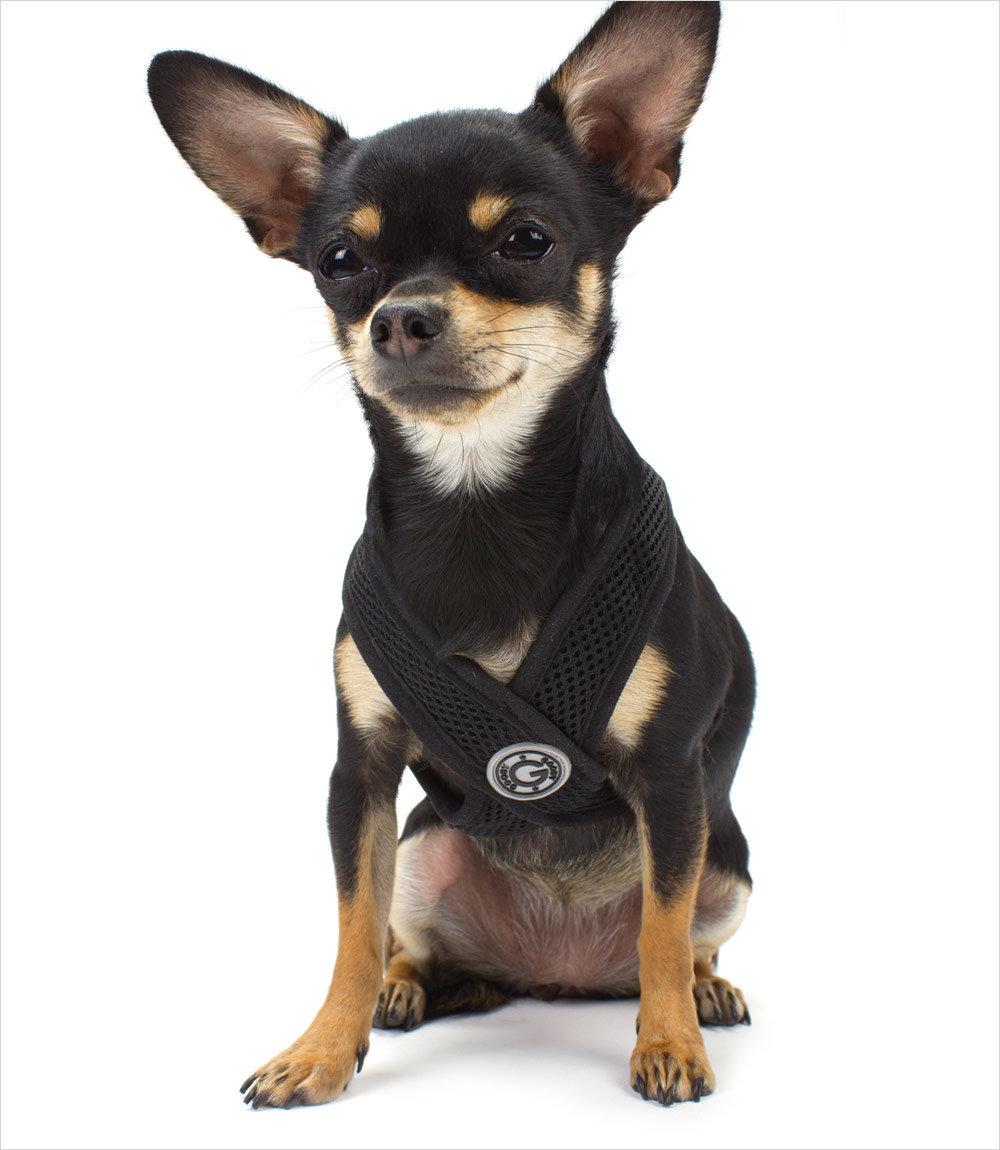 фото собака чёрная чихуахуа