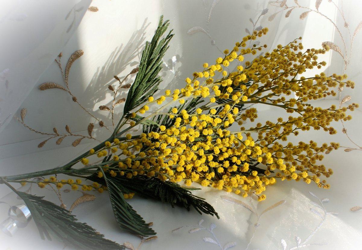 Мимоза картинки цветы