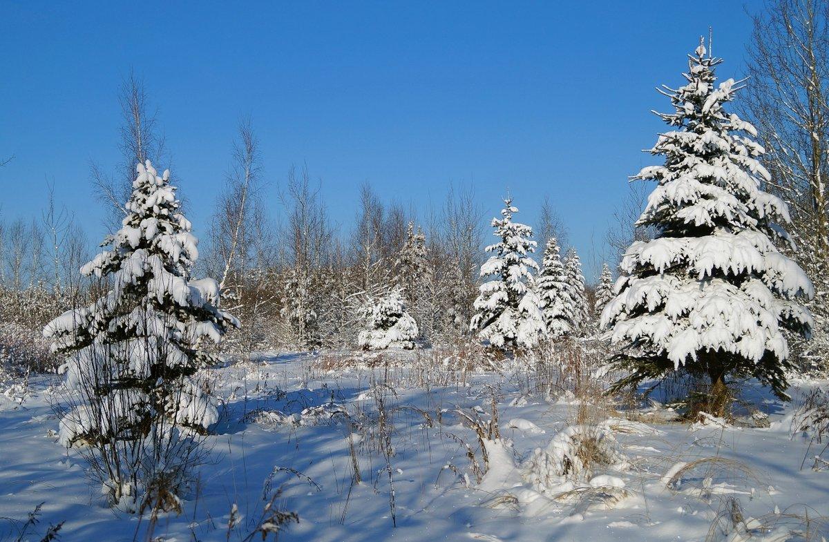 золотая пора, ели зимой в лесу фото дизайн выбрать для
