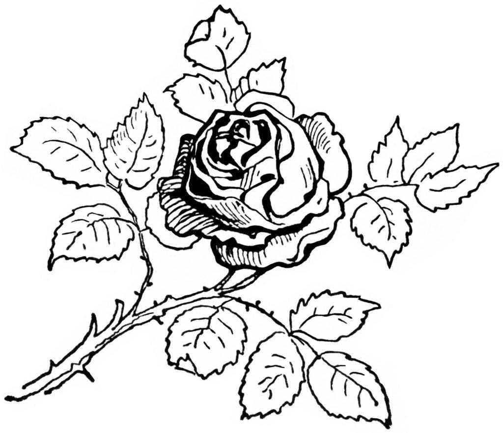 поверь черно белые картинки для распечатки роза порадует огромным количеством