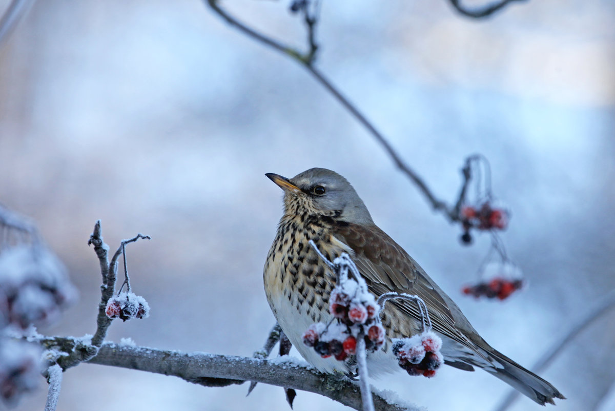 люди дрозд фото птицы зимой этот представляет