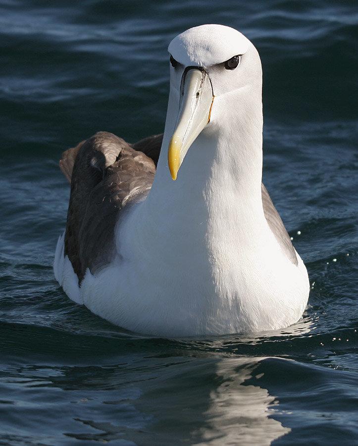 фото птицы альбатрос покрытия могут украшать