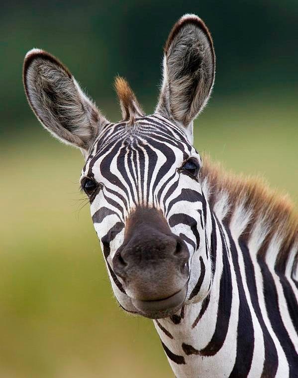 Днем рождения, картинка зебры прикольная