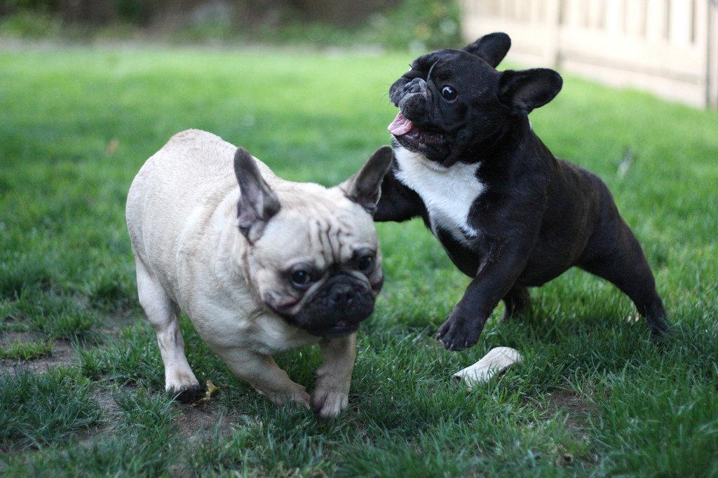 Картинки французских собак