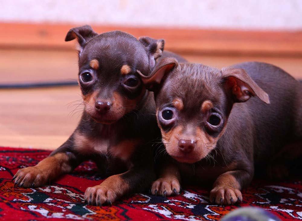 обои смотреть щенков той-терьера в картинках любом фото гостиная