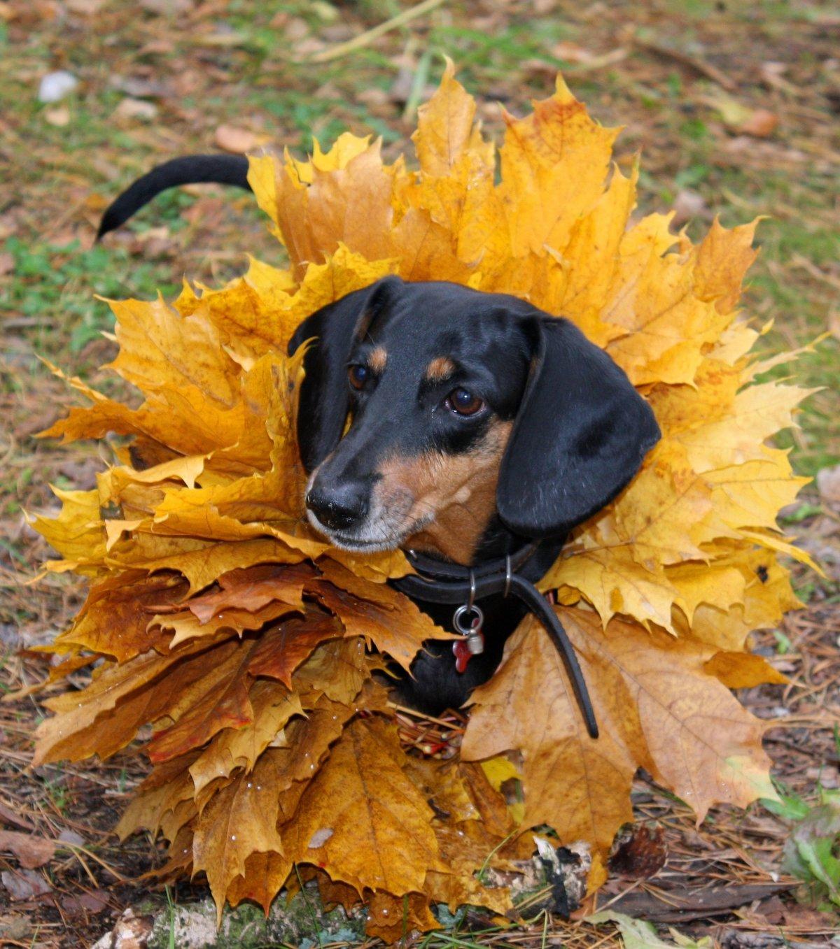 такса и осень фото умение