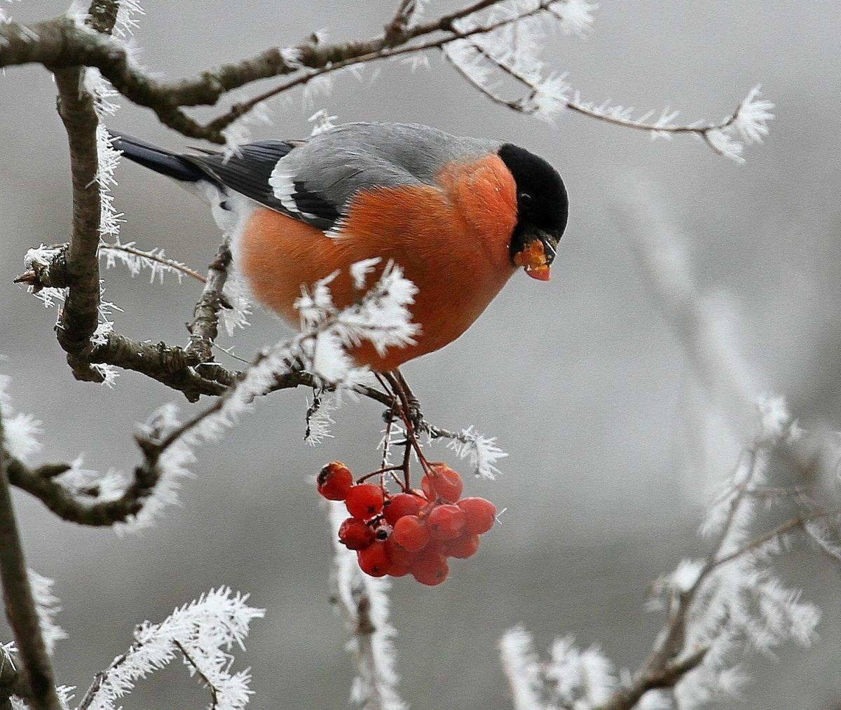 Зимние снегири в картинках