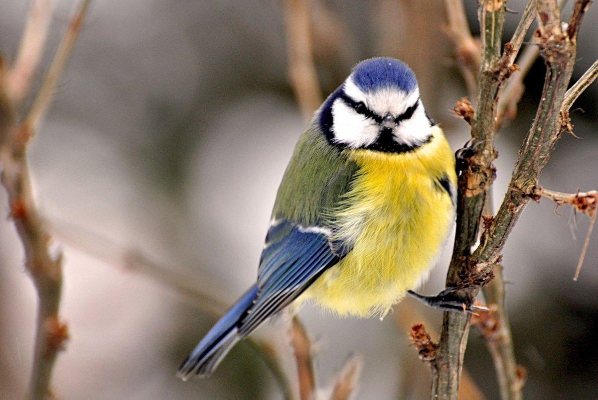 Зима синичка картинки