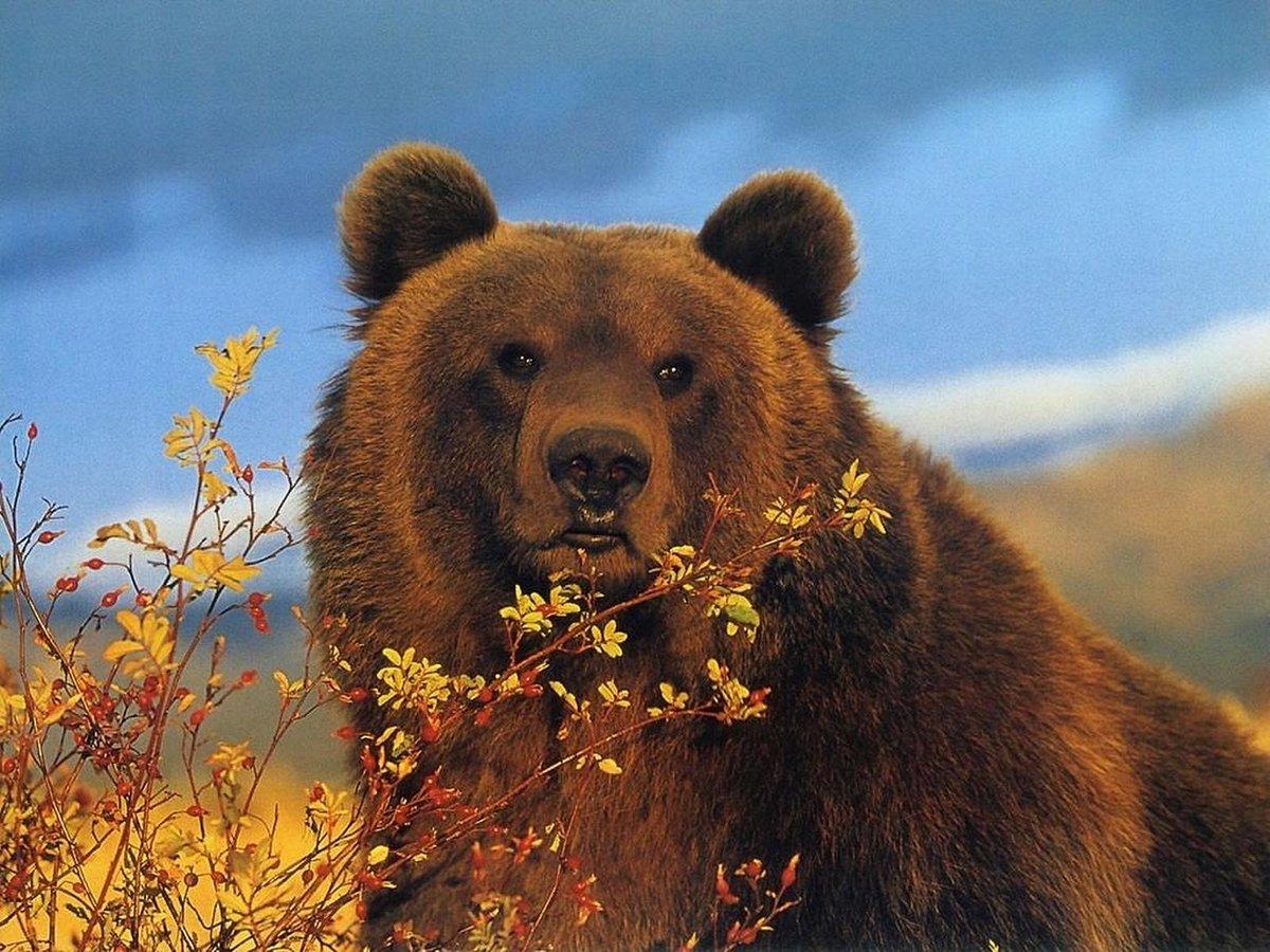 Твой, картинки медведь картинки медведь
