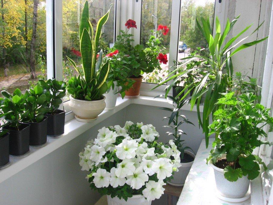 Комнатные цветы летом на лоджии