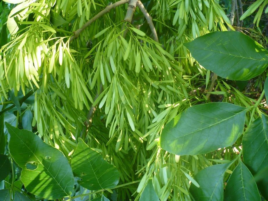 Ясень как выглядит это дерево