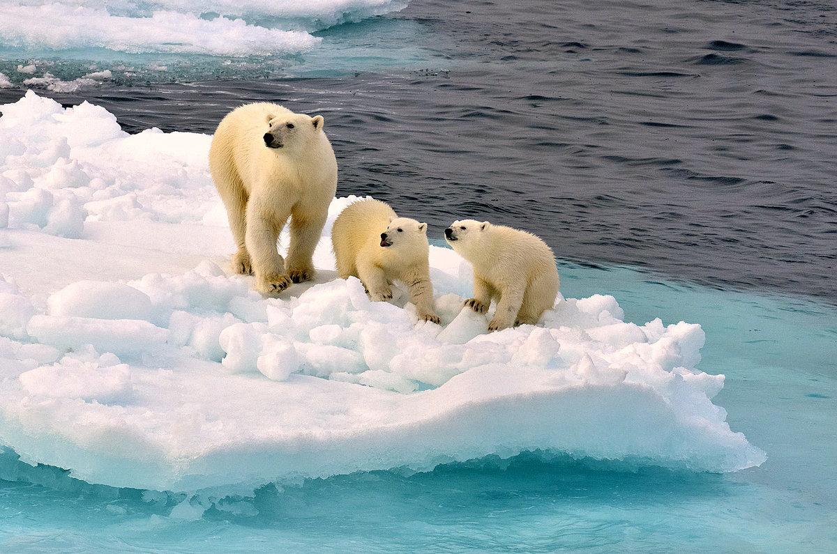 картинки северного полюса и белых медведей всё это
