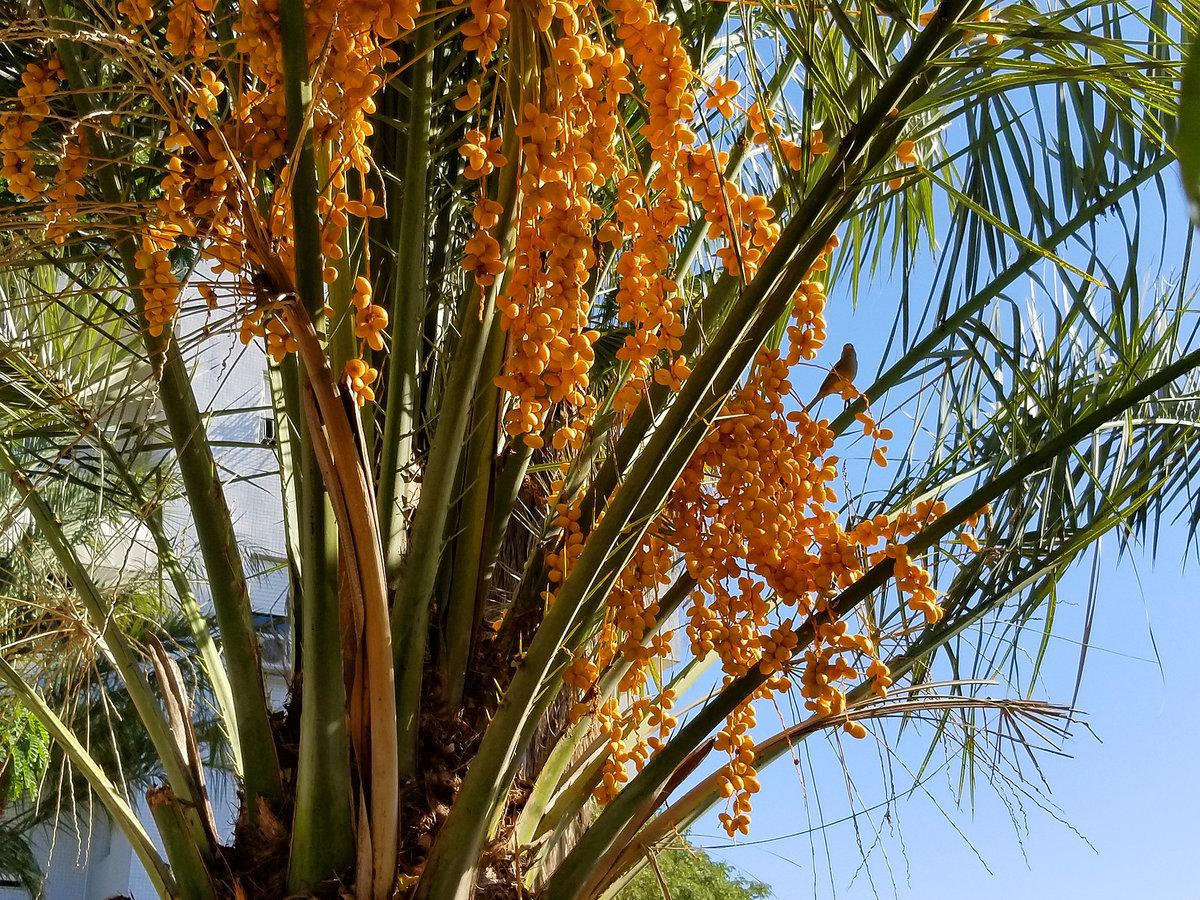 финиковая пальма дома с плодами фото девочка подарком руке