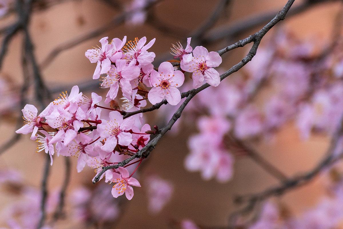 фото цветущей ветки сливы