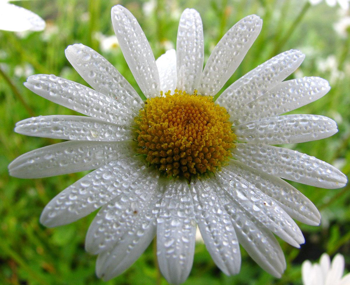 Открытке, картинки цветов ромашка