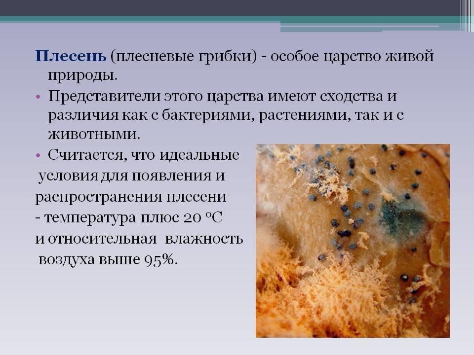 праву плесневые грибы картинки для презентации плитка это