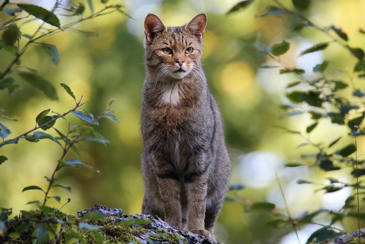 пошаговых лесной котенок картинки гугле изразцовую