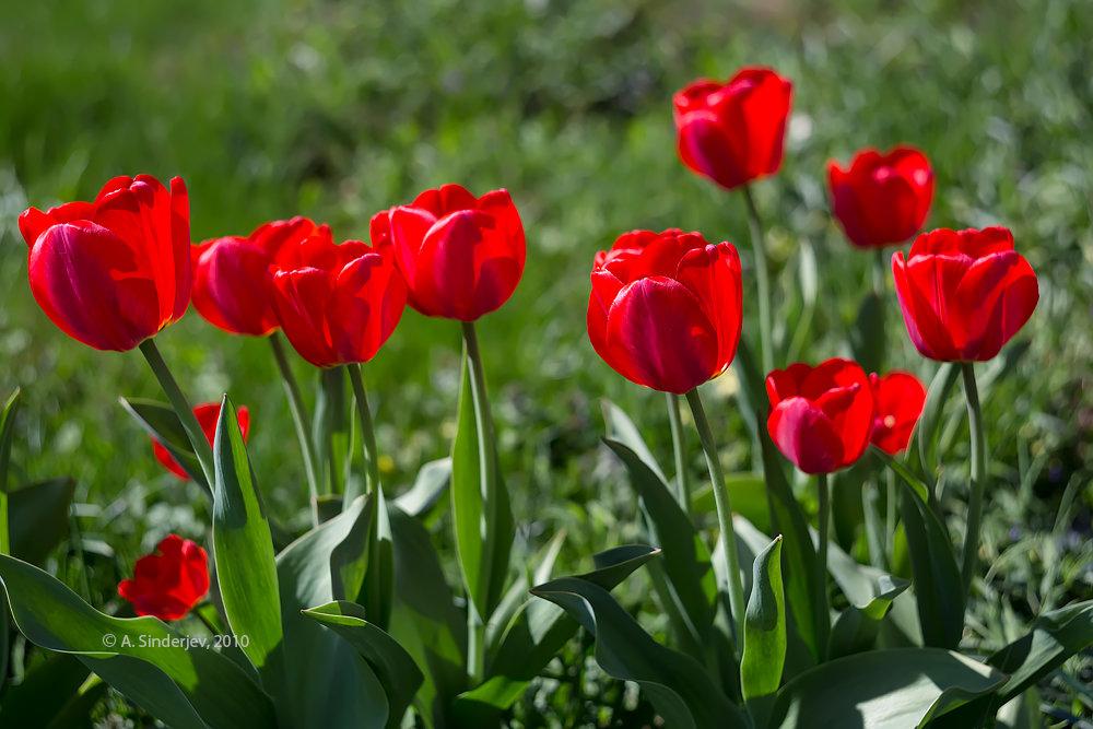 роскошный, картинки с красными тюльпанами рисунках для срисовывания