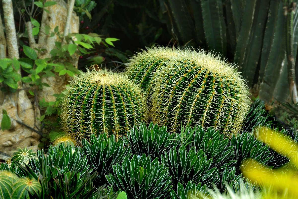 кактусы фото в природе рецепт