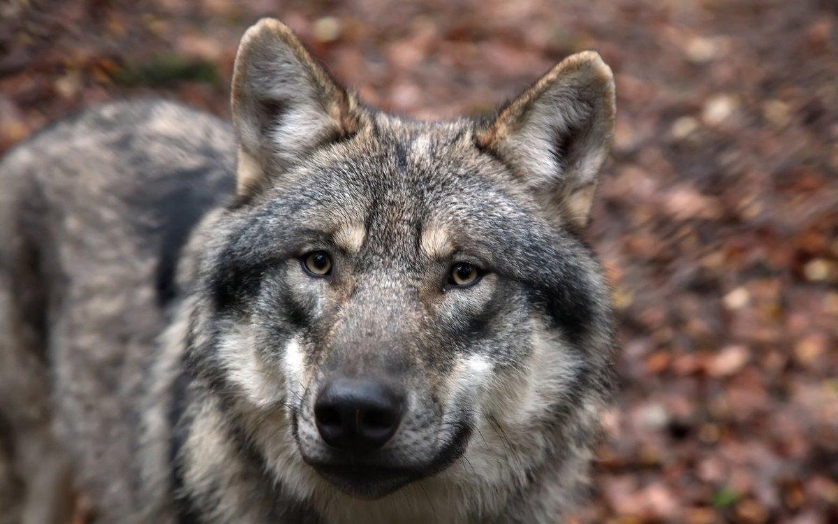 Грустные фотографии волков