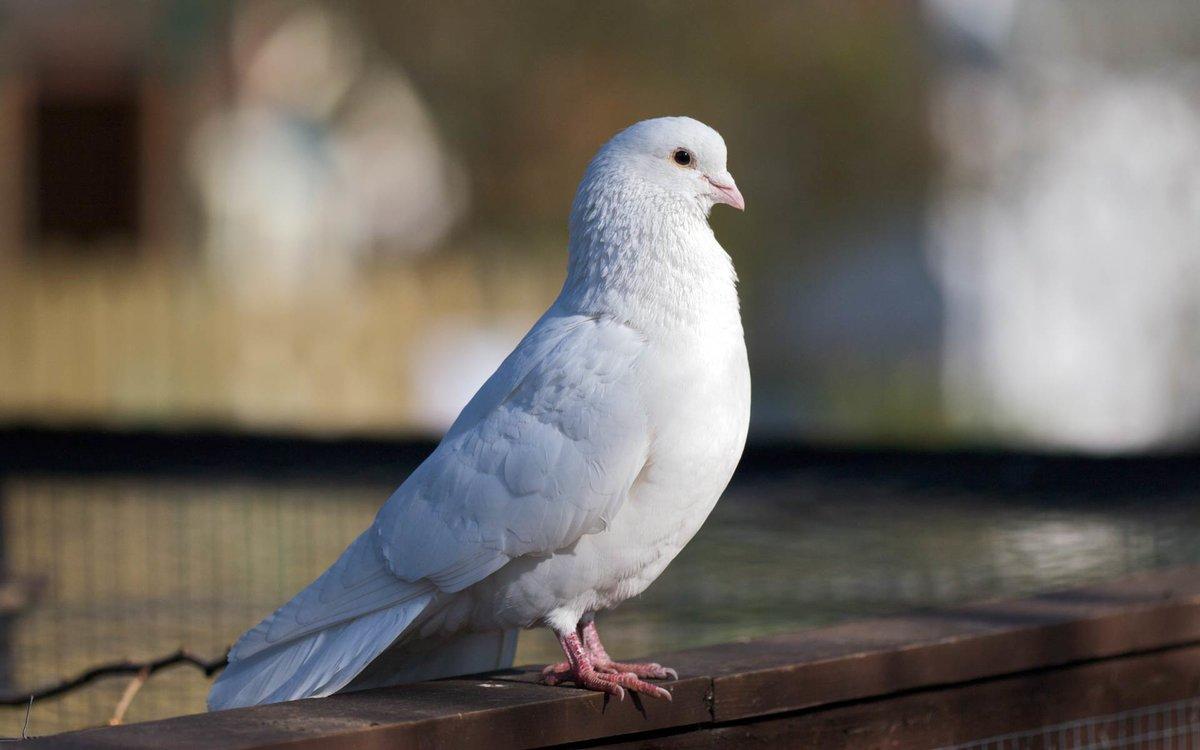 Картинки про голубей, надписи картинками