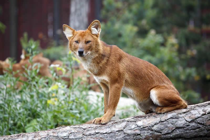 Картинки красных волков картинки красных волков хотел начать
