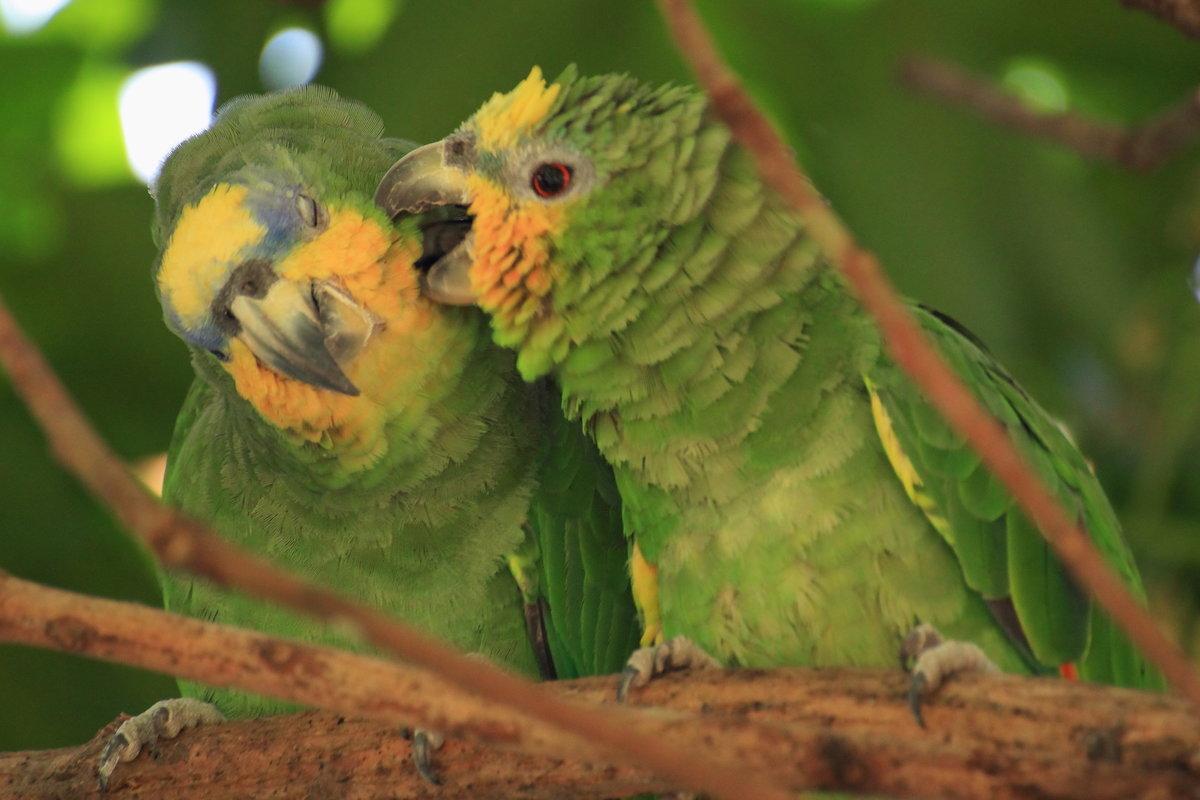 как попугаи целуются картинки будет