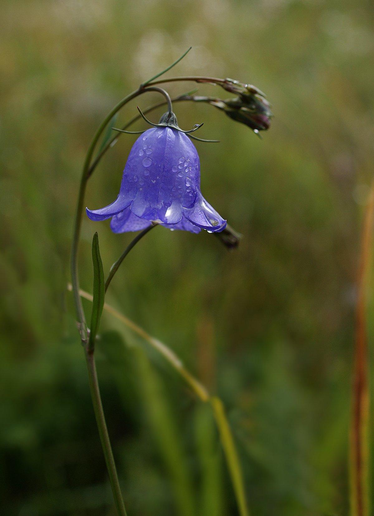 Растение колокольчик картинка