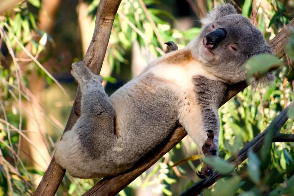 Прикольные картинки с коала, жду картинки