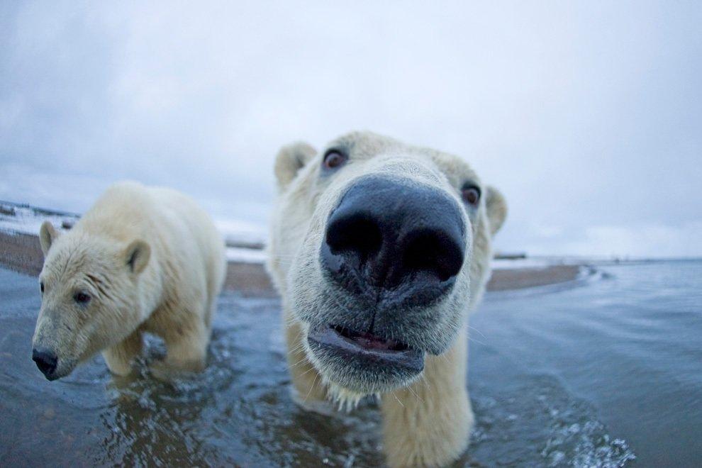 Картинки белые медведи прикольные картинки