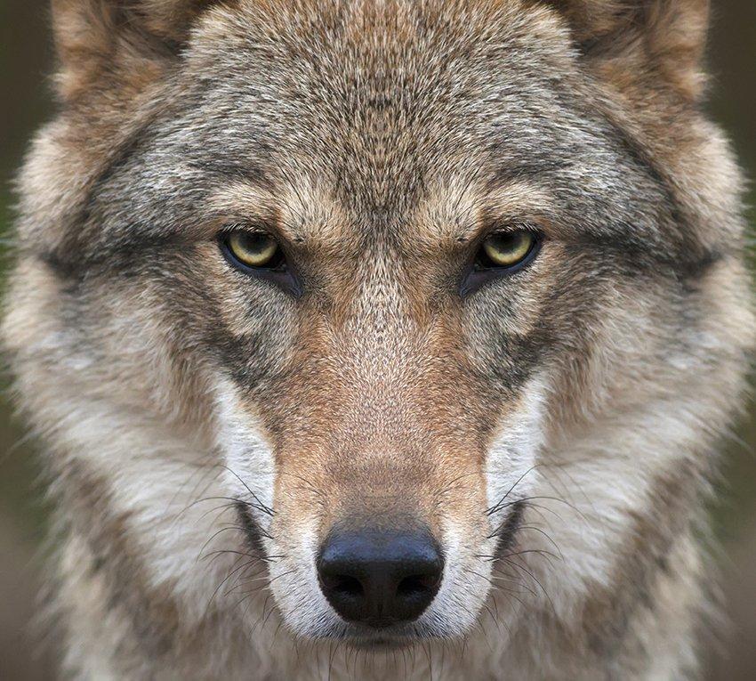 Слава вооруженным, волки фото картинки красивые
