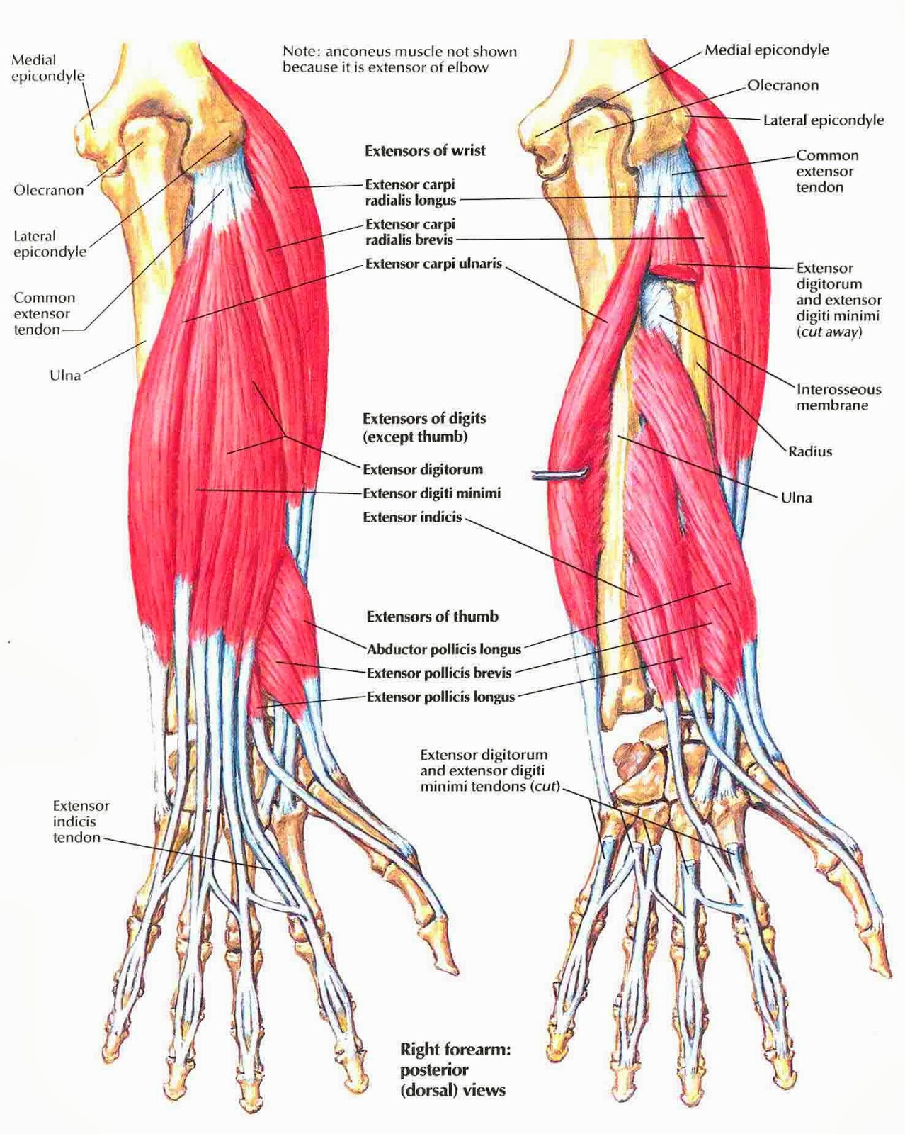 Anatomy Of Arm Muscles And Tendons Archives Human Anatomy Card