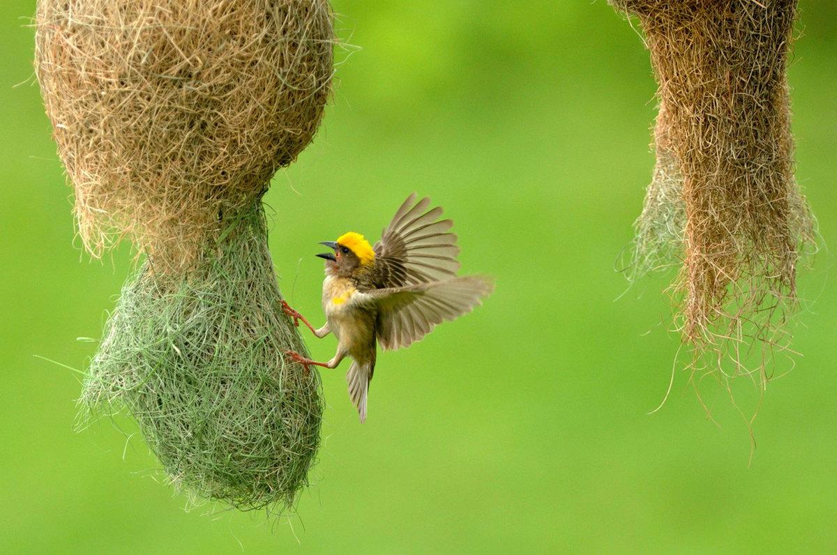 ткачики птицы фото качестве оранжереи