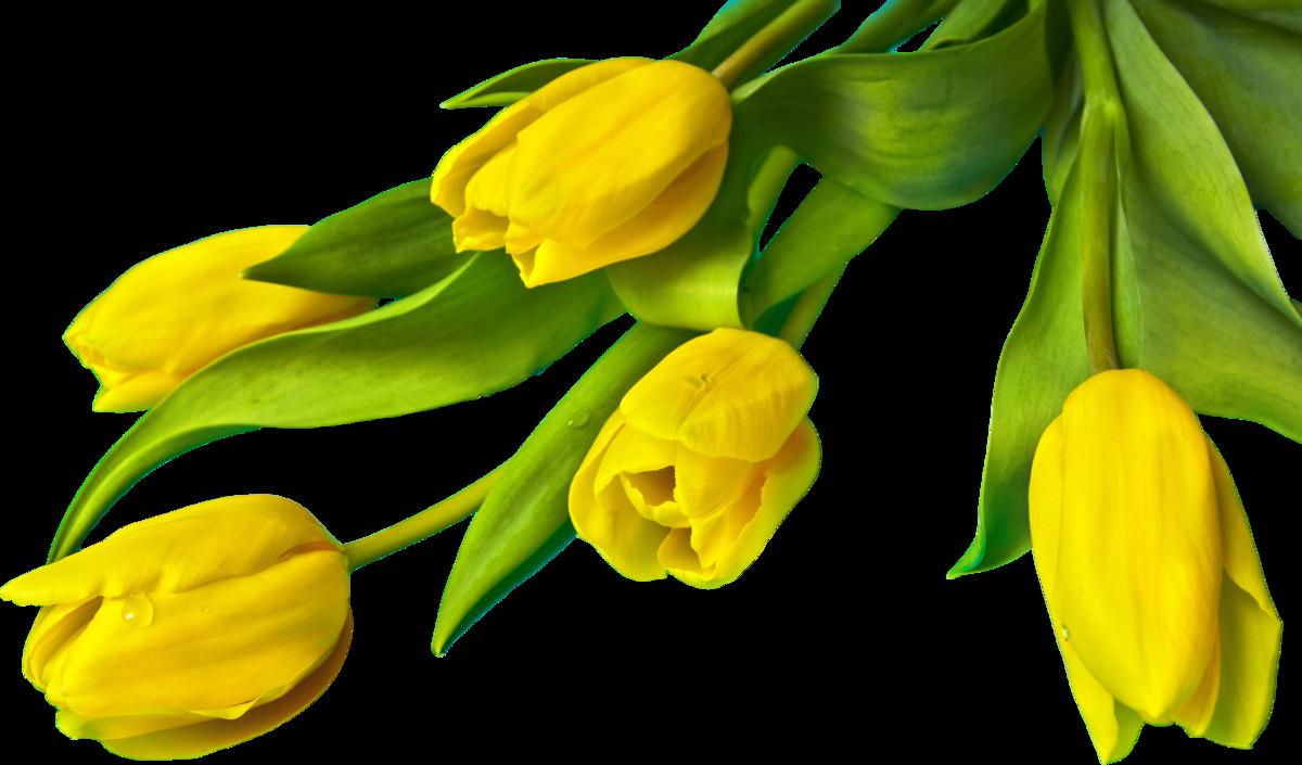 Распечатать картинку, картинка тюльпаны на прозрачном фоне