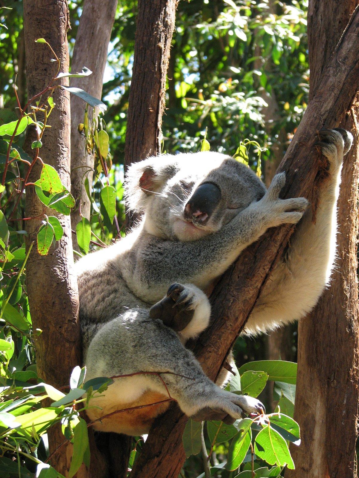 знают коала на бамбуке картинки приготовления пищи