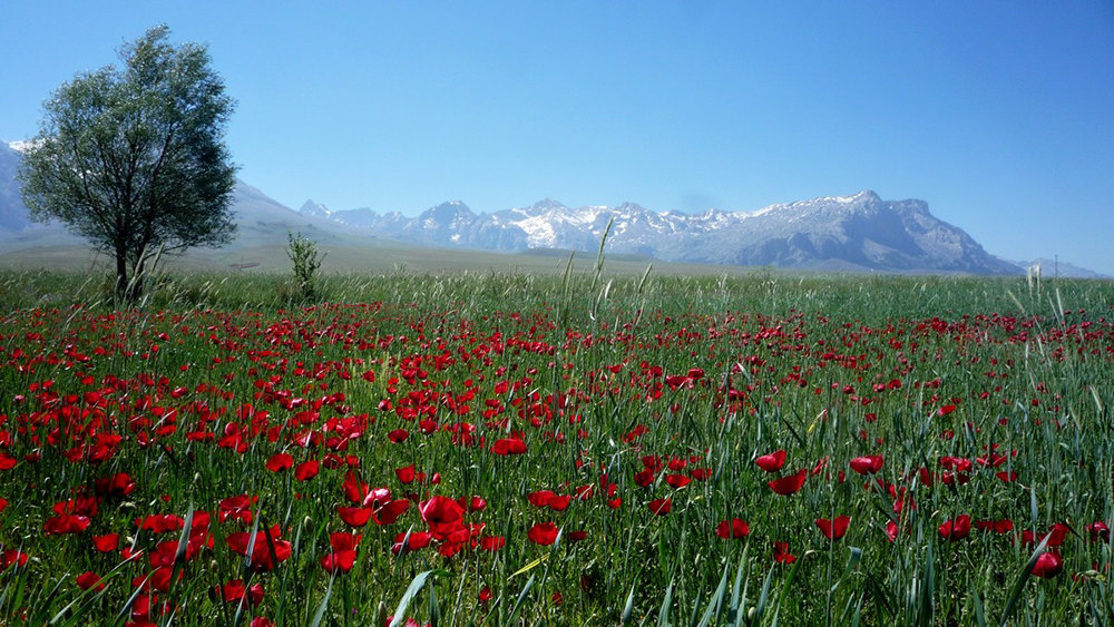 горные тюльпаны фото киргизия каждым днем поклонников