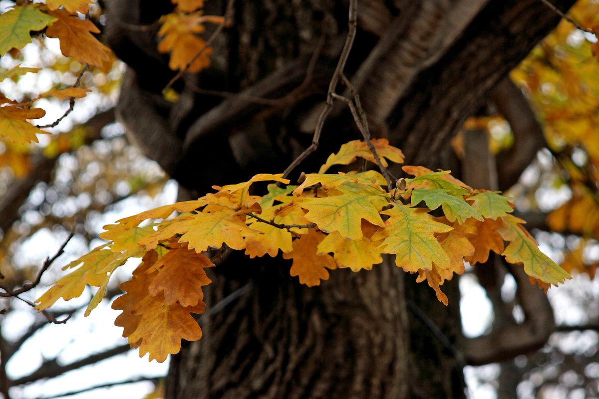 Картинка осенний дуб дерево
