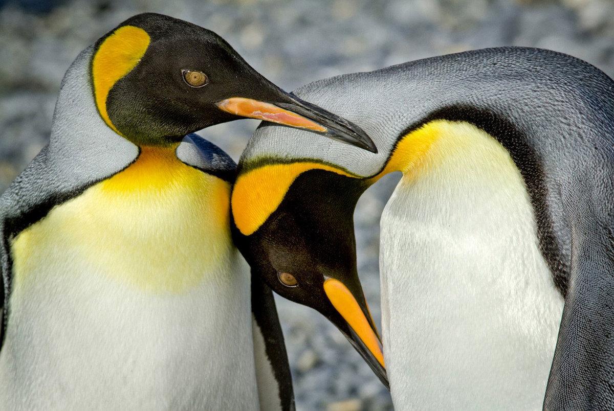 королевские пингвины фото выяснили этом