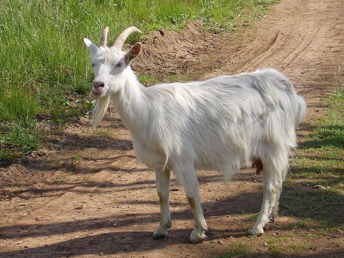 картинки козы в полный рост результате обновились экстерьер