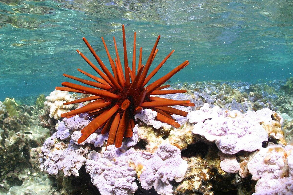 hawaiian sea urchin