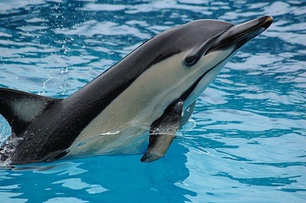 Красная книга россии животные дельфин беломордый