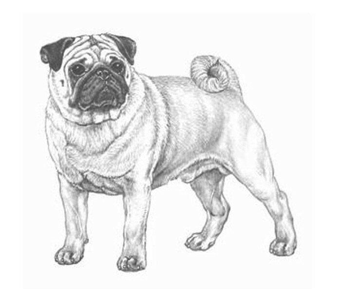 Картинки нарисованных собак мопс